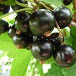 Blackcurrant Wash Farm Produce