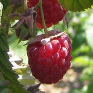 raspberry22