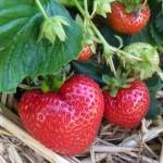 Strawberry Wash Farm Produce