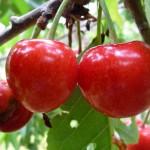 Cherry Wash Farm Produce
